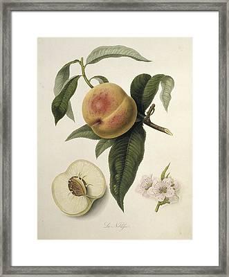 La Noblesse Peach (1818) Framed Print