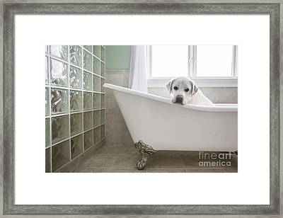Lab In A Bathtub Framed Print
