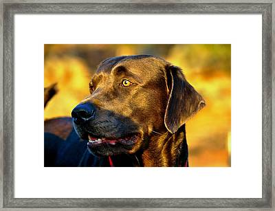 Lab Puppy At Sunset Framed Print by Kristina Deane