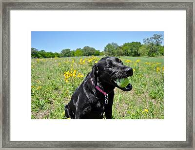 Lab With A Tennis Ball Framed Print