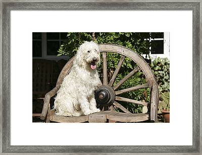 Labradoodle Sitting On Chair Framed Print by John Daniels