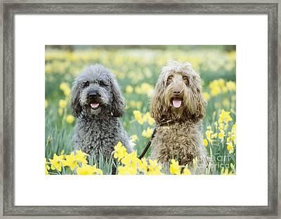Labradoodles In Daffodils Framed Print by John Daniels