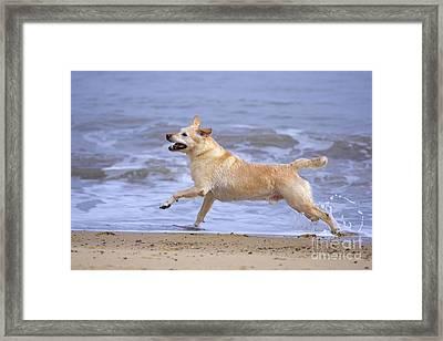 Labrador Cross Dog Running Framed Print by Geoff du Feu