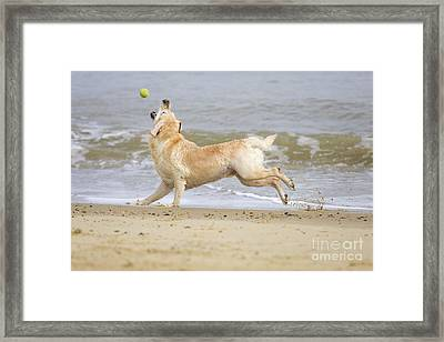 Labrador Dog Chasing Ball Framed Print by Geoff du Feu