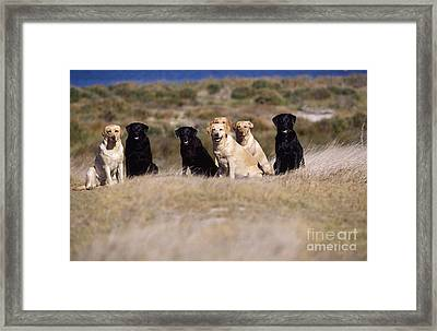 Labrador Dogs Waiting For Orders Framed Print