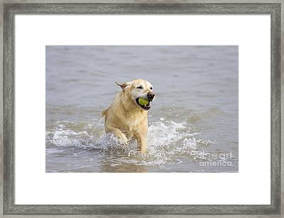 Labrador-mix Retrieving Ball Framed Print by Geoff du Feu