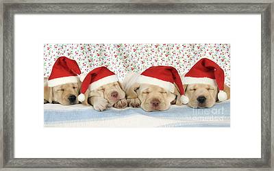 Labrador Puppy Dogs Wearing Christmas Framed Print by John Daniels