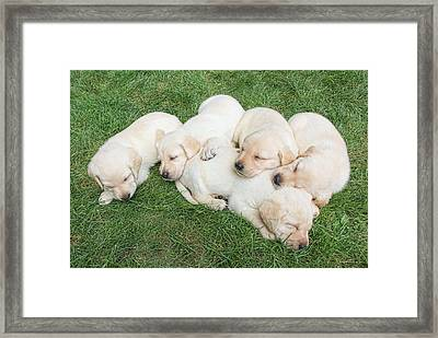Labrador Retriever Puppies Nap Time Framed Print by Jennie Marie Schell