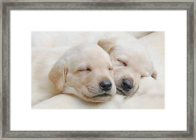 Labrador Retriever Puppies Sleeping  Framed Print