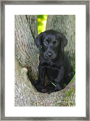 Labrador Retriever Puppy Framed Print by Catherine Reusch Daley