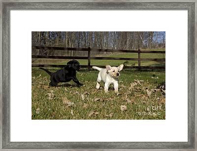 Labrador Retriever Pups Framed Print by Linda Freshwaters Arndt