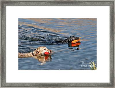 Labrador Retrievers In Pond Framed Print
