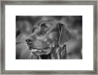 Labrador Sweetie Framed Print