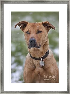 Labradormalinois Mix Framed Print by Johan De Meester