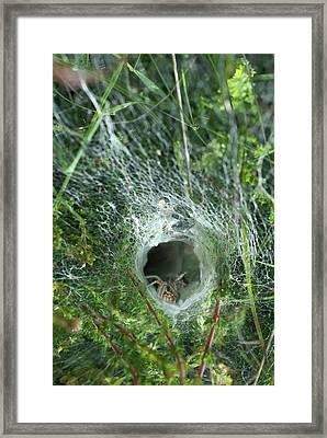 Labyrinth Spider In Web Framed Print by David Aubrey
