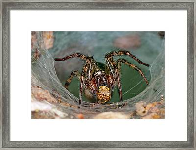 Labyrinth Spider With Prey Framed Print by Dr. John Brackenbury/science Photo Library