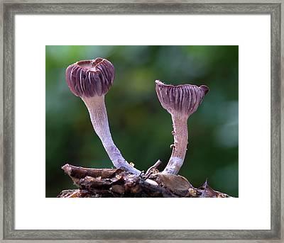 Laccaria Amethystea Fungi Framed Print by Nigel Downer