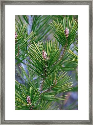 Lace-bark Pine (pinus Bungeana) Framed Print by Dr. Nick Kurzenko
