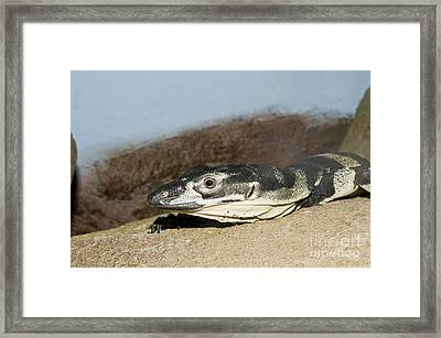 Lace Monitor Framed Print by William H. Mullins