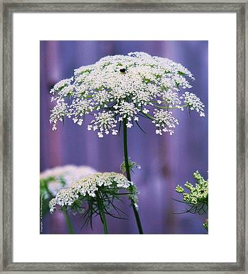 Lace Of August Framed Print