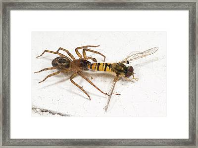 Lace Weaver Of Lace Webbed Spider Framed Print by Nigel Downer