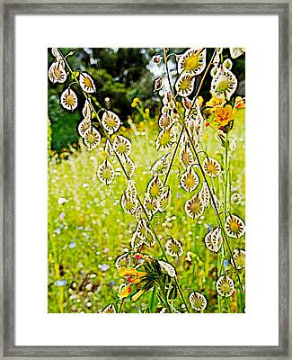 Lacepod And Fiddleneck In Park Sierra Near Coarsegold-california Framed Print by Ruth Hager