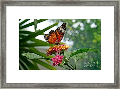 Lacewing Butterfly Framed Print