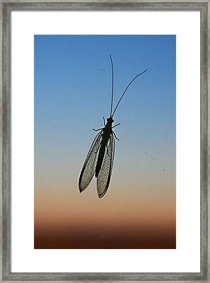 Lacewing Framed Print by Carl Engman