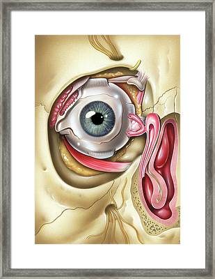 Lacrimal Apparatus Of The Eye Framed Print