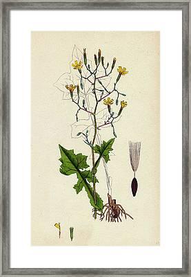 Lactuca Muralis Ivy-leaved Lettuce Framed Print by English School