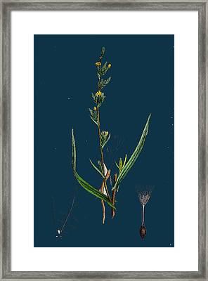 Lactuca Saligna Least Lettuce Framed Print by English School