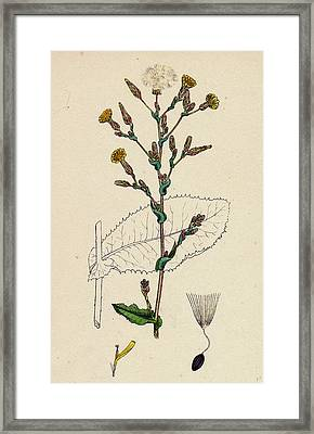 Lactuca Virosa Strong-scented Lettuce Framed Print by English School