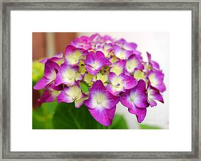 Lacy Hydrangea Framed Print by Judy Palkimas