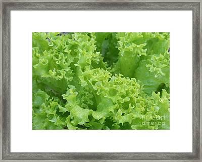 Lacy Lettuce Framed Print by Carol Groenen