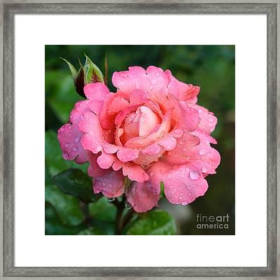 Lacy Pink Rose Framed Print