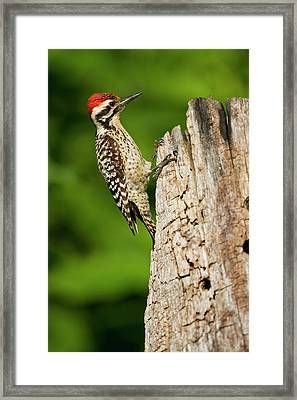 Ladder-backed Woodpecker (picoides Framed Print by Larry Ditto