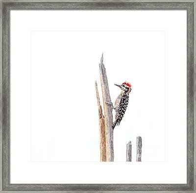 Ladder-backed Woodpecker Framed Print by Ruth Jolly
