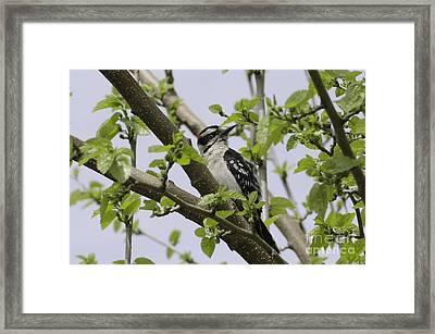Ladderback Woodpecker Framed Print by Michelle Horsman