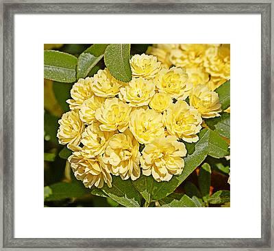 Lady Banks Roses Framed Print