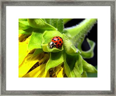 Lady Beetle Framed Print by Christina Rollo