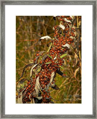 Lady Beetles Hippodamia Convergens Framed Print by Ron Sanford