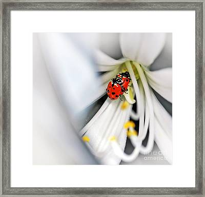 Lady Beetles In Love Framed Print by Kaye Menner