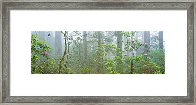 Lady Bird Johnson Grove Of Old-growth Framed Print by Panoramic Images