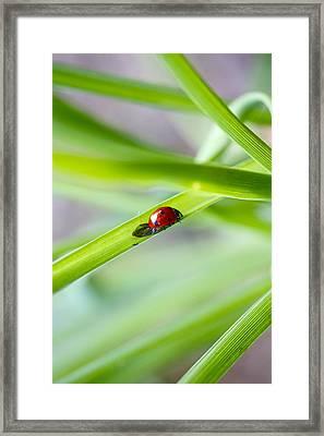 Lady Bug Climbing A Blade Of Grass Framed Print