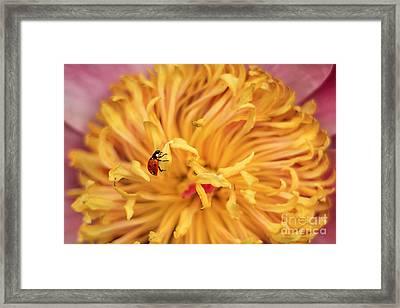 Lady Bug Framed Print by Darren Fisher