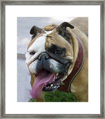 Lady Bulldog Close Up Framed Print