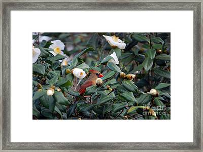 Lady Camellia Framed Print by Skip Willits
