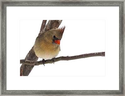 Lady Cardinal Framed Print by Jill Bell