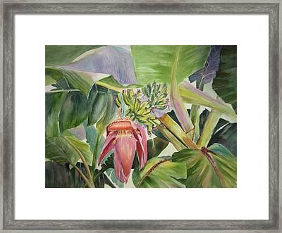 Lady Fingers - Banana Tree Framed Print by Roxanne Tobaison