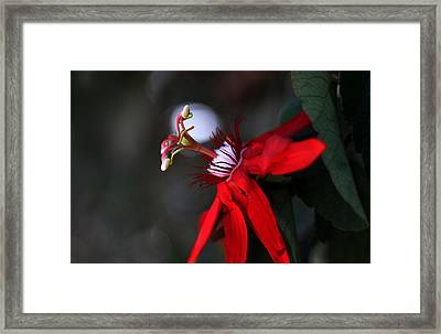 Framed Print featuring the photograph Lady Margaret - Passionflower  by Ramabhadran Thirupattur